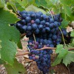 グルナッシュの品種の特徴、産地、おすすめワイン