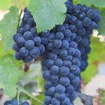カベルネ・フランの品種の特徴、産地、おすすめワイン