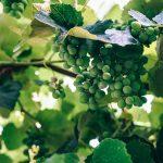 ソーヴィニヨン・ブランの品種の特徴、産地、おすすめワイン