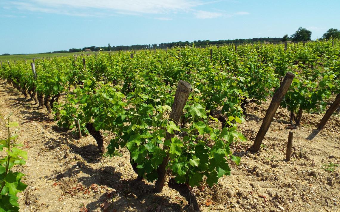 貴腐ワイン畑